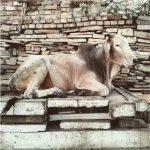 """Bando di concorso per il benessere degli animali da allevamento: """"Arredo per vacche e amici"""""""
