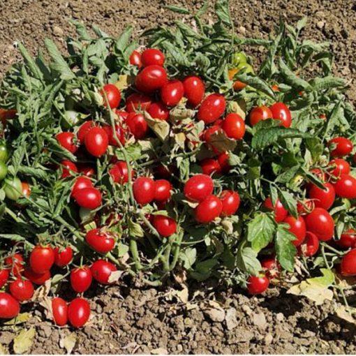 """Il pomodoro siciliano """"buttiglieddru"""" è il nuovo Presidio Slow Food"""