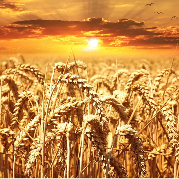 Nuovo tentativo di sdoganare gli OGM. Le associazioni si mobilitano