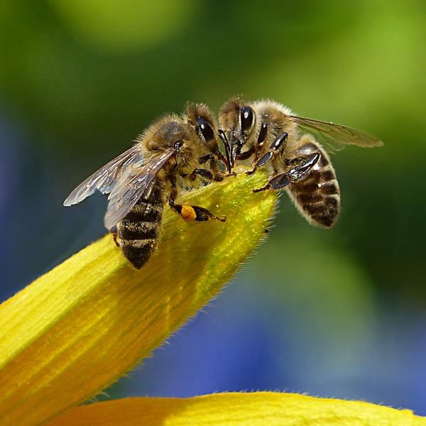 Coltivare nelle città il benessere di tutti. I dati di quattro anni di monitoraggio ambientale con le api